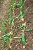 Onions In Rows In A Garden Allotment