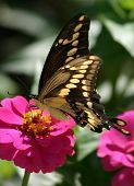 Anise Swallowtail on flower