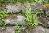 Stone Wall With Ferns And Moss