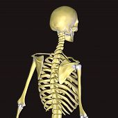 skeleton with backbone