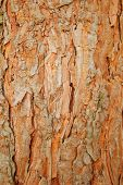 Pine Rind