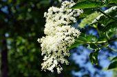 Elderberry Flowers And Lemons