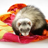 Ferret On Color Fabrics