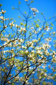 White flowering dogwood tree (Cornus florida) in bloom in the blue sky