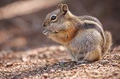 stock photo of chipmunks  - eating colorado chipmunk in the Rocky Mountain National Park - JPG