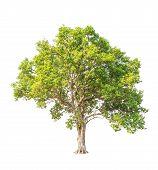 Tembusu (fagraea Fragrans), Commonly Known As Buabua, Urung, Temasuk, Tatrao, Trai, Kan Krao, Tembes