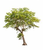 Sindora Siamensis, Tropical Tree In The Northeast Of Thailand Isolated On White Background