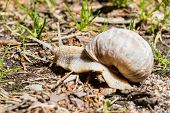 picture of escargot  - Burgundy snail edible snail escargot roman snail are all common names of Helix pomatia - JPG