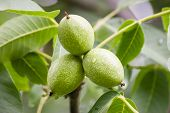 foto of walnut-tree  - Three Green walnuts growing on a tree.