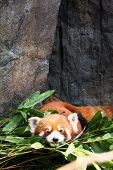 Cute red panda laying down