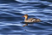 Red-breasted Merganser Floating In The Waters Of The Bay Avachinskaya