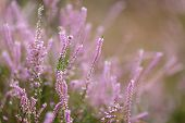 Wild pink pastel heather detail, shallow depth of field