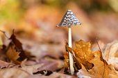 Coprinus comatus mushroom growing on the forest ground at fall season