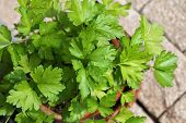 Closeup photo of home grown Flat-leaved Parsley in a pot