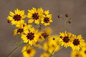 stock photo of wildflower  - This is golden Alabama Coreopsis tinctoria Wildflowers. These are growing in Morgan County. These pretty daisy-like wildflowers re-seed, and come back prettier every year.