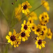 image of wildflower  - This is golden Alabama Coreopsis tinctoria Wildflowers. These are growing in Morgan County. These pretty daisy-like wildflowers re-seed, and come back prettier every year.