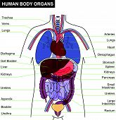 anatomy vector
