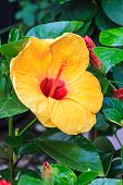 Hibiscus Flowers Are A Genus Of Flowering Plants In The Mallow Family