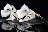 Beautiful Spa Concept Of Two Delicate White Hibiscus, Zen Stones With Drops On Ripple Water, Closeup