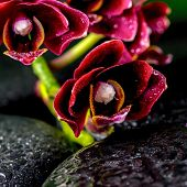 Spa Concept Of Dark Cherry Flower Orchid Phalaenopsis On Zen Basalt Stones With Drops, Closeup