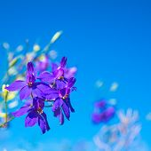 Dark-blue Flowers On The Clear Blue Sky, Closeup