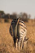 Zebra #3