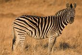 Zebra #7