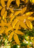 stock photo of ash-tree  - Ash tree Bright orange yellow leaves with branches - JPG