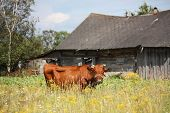 Brown Latvian Cow At The Pasture Near The Wooden Barn