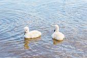 Bird Family: Swan Cygnets, On A Lake.