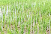 Green Rice Field Texture