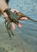 picture of crawfish  - Green crawfish  - JPG