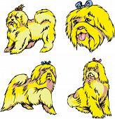Bichon Dogs