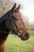 picture of breed horse  - Portrait of a Furioso North Star breed bay horse - JPG
