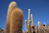 Huge Cactuses over blue sky, Bolivia