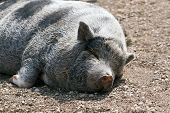 Lazy Pig Lying