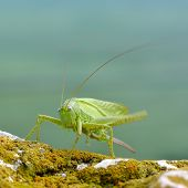 picture of cricket insect  - great green bush - JPG