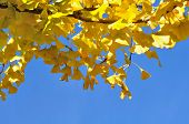 Yellow Ginkgo Foliage