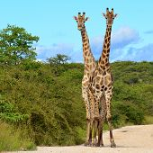 giraffes in perfect forming