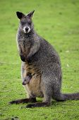 picture of wallabies  - this is a mother wallaby with a joey in her pouch - JPG