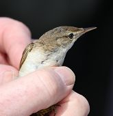 Reed Warbler in the hand
