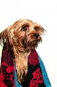 Cute Yorkshire Terrier Portrait