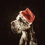 stock photo of harlequin  - harlequin great dane in form of Santa Claus congratulates merry Christmas and new year - JPG