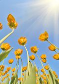 golden tulip flowers growing to blue sky