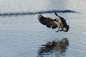 image of canada goose  - A Single Canada Goose Landing on Winter Lake - JPG