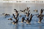 Canada Geese Taking To Flight From A Winter Lake