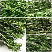 Fresh green rosemary collage