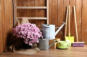 Chrysanthemum bush in pot, tools for gardening on wooden wall background