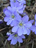 Kidneywort flowers