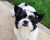image of cross-breeding  - A black and white mixed breed dog - JPG
